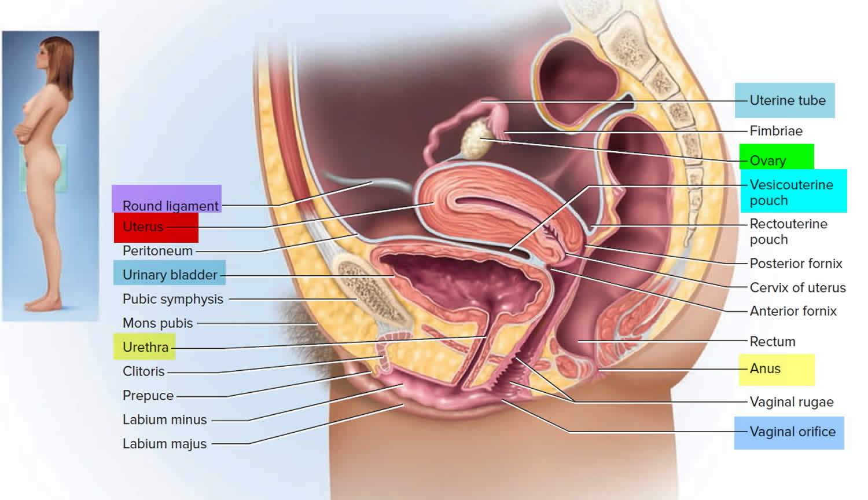 Uterus location