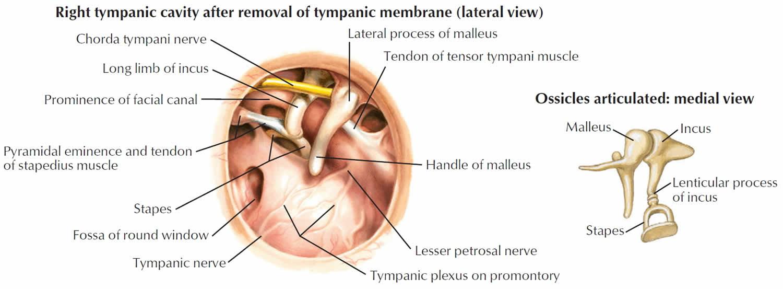 Ear drum anatomy