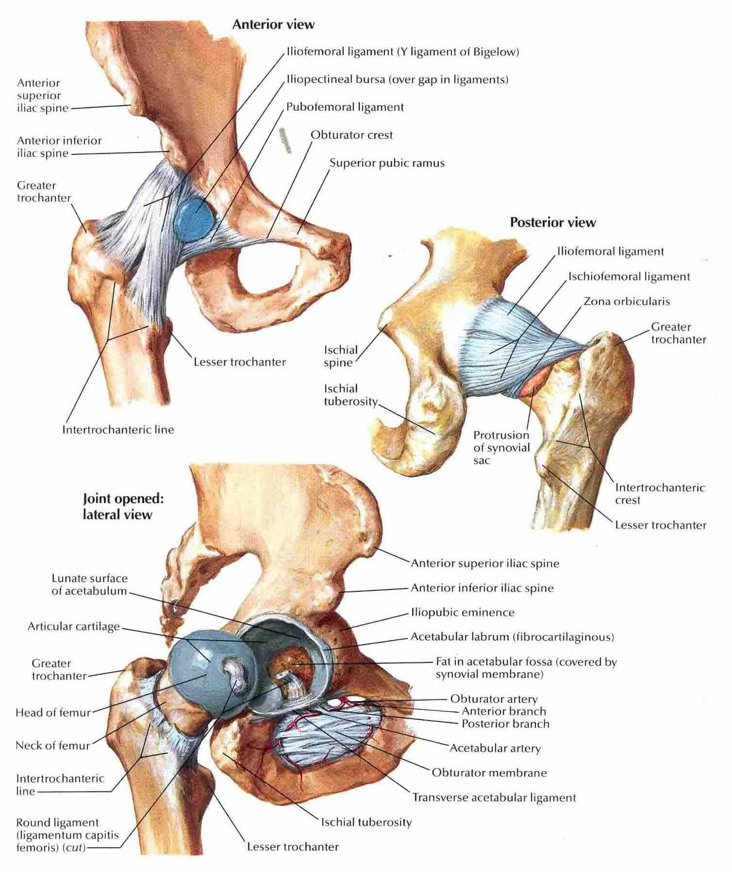 Hip joint anatomy