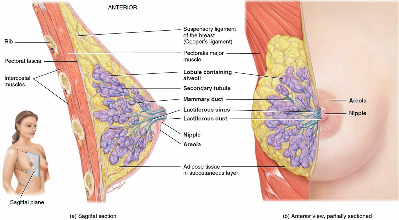Normal breast