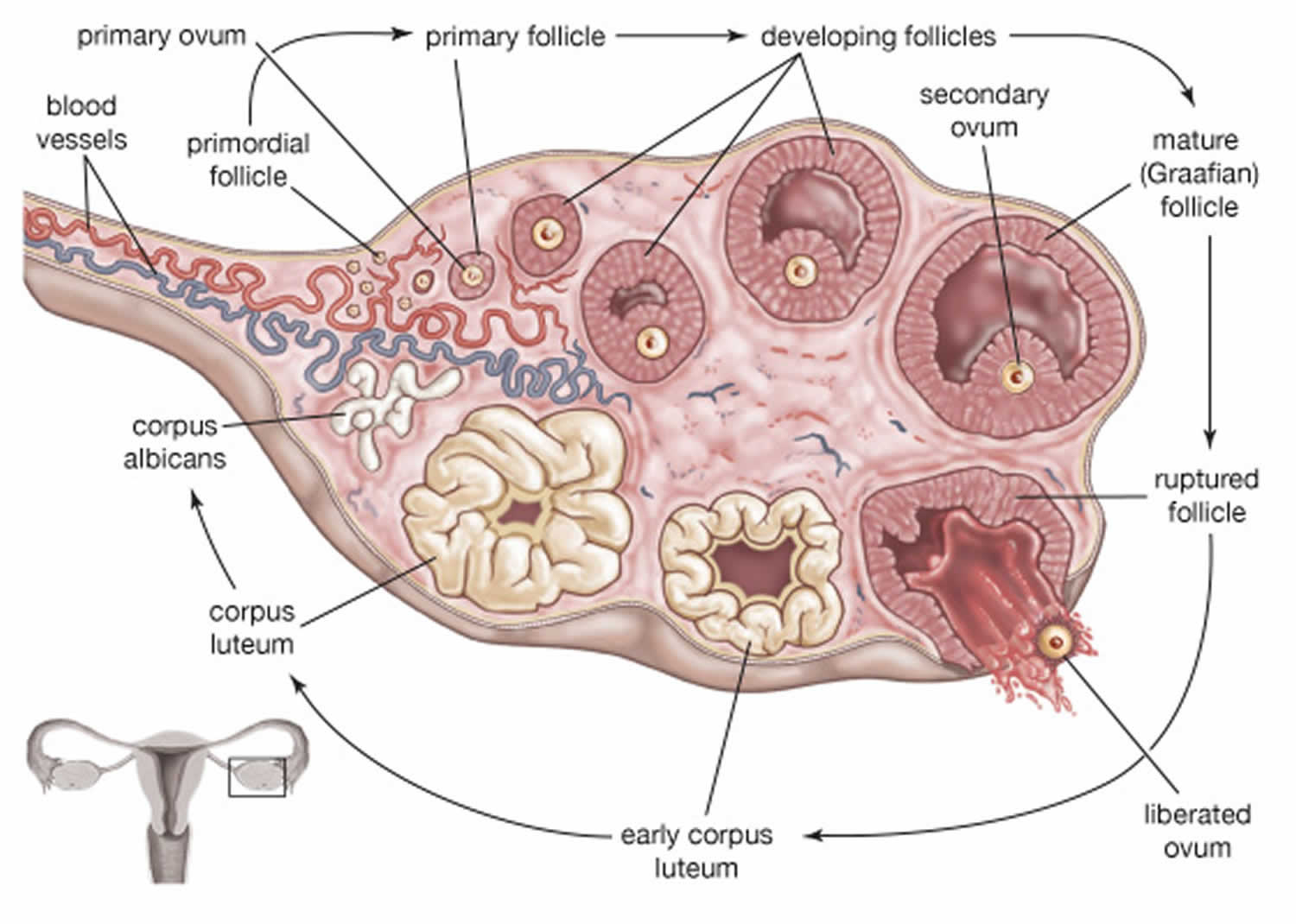 Ovarian Follicle Maturation