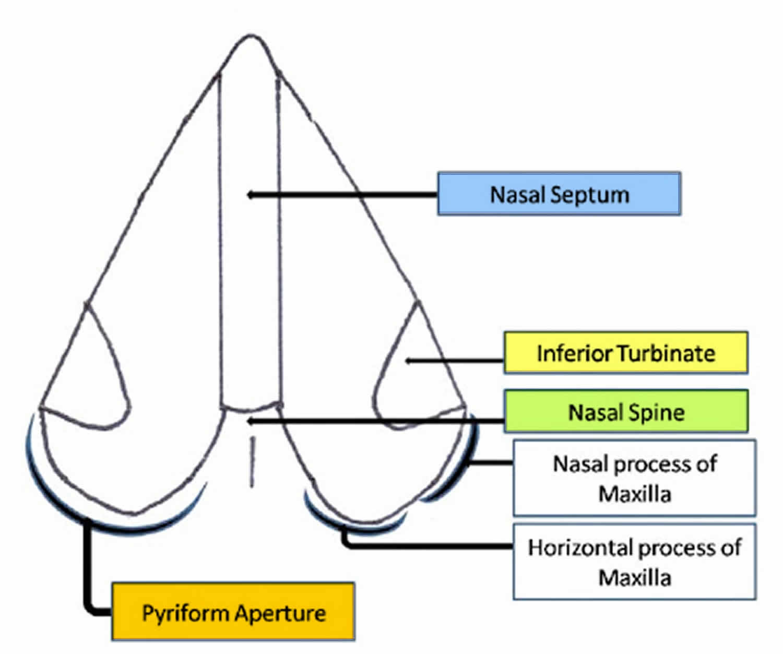 nasal pyriform aperture