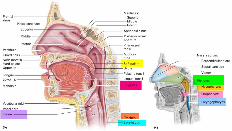 pharynx and larynx anatomy