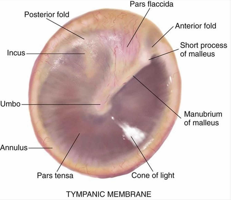 Tympanic membrane anatomy