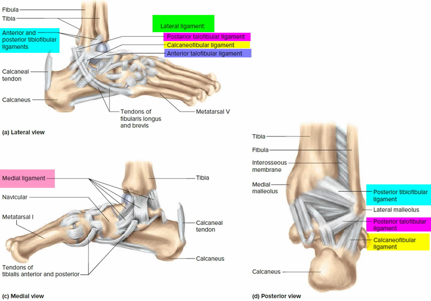 Ankle joint ligaments